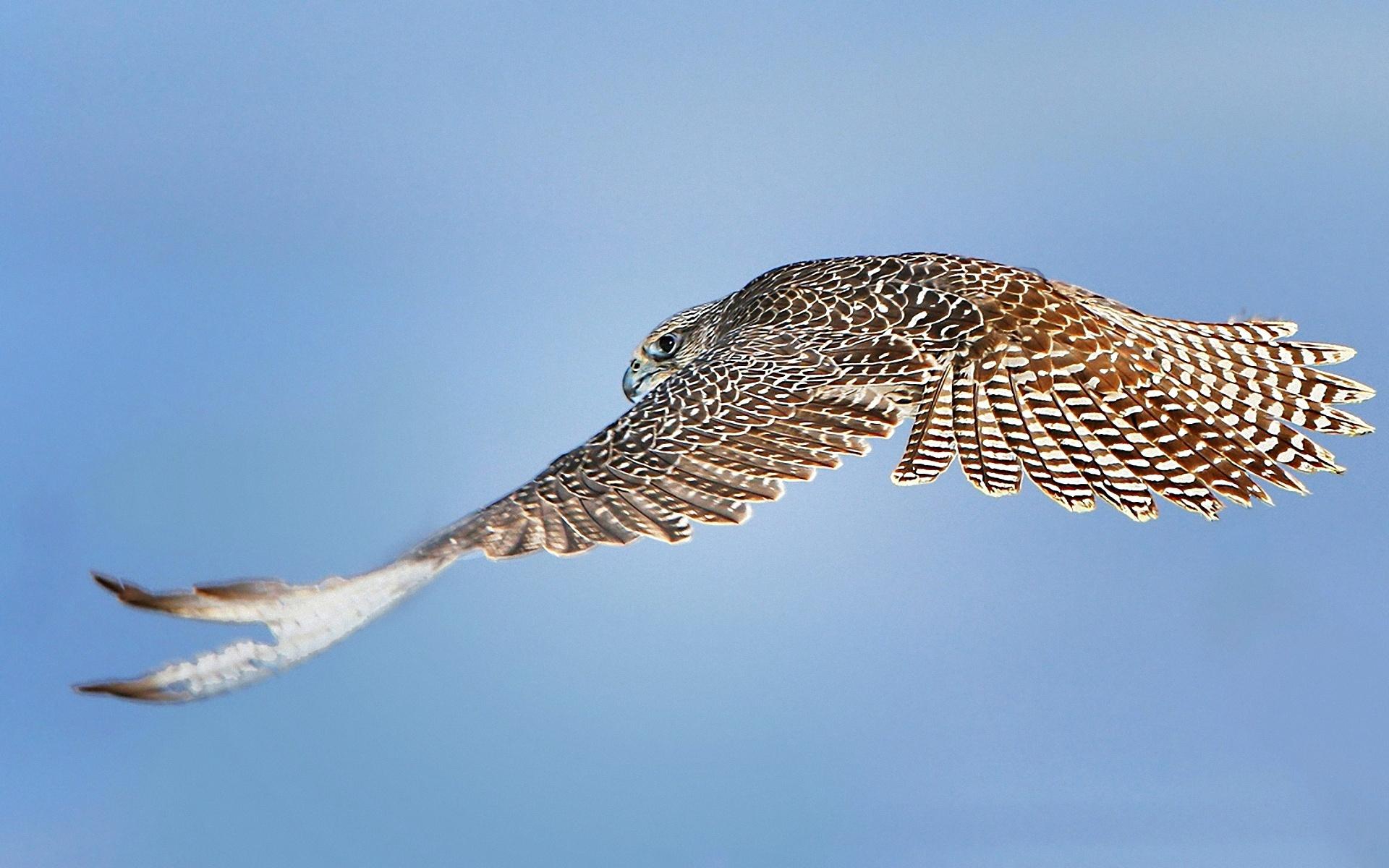 полет ястреб flight hawk загрузить