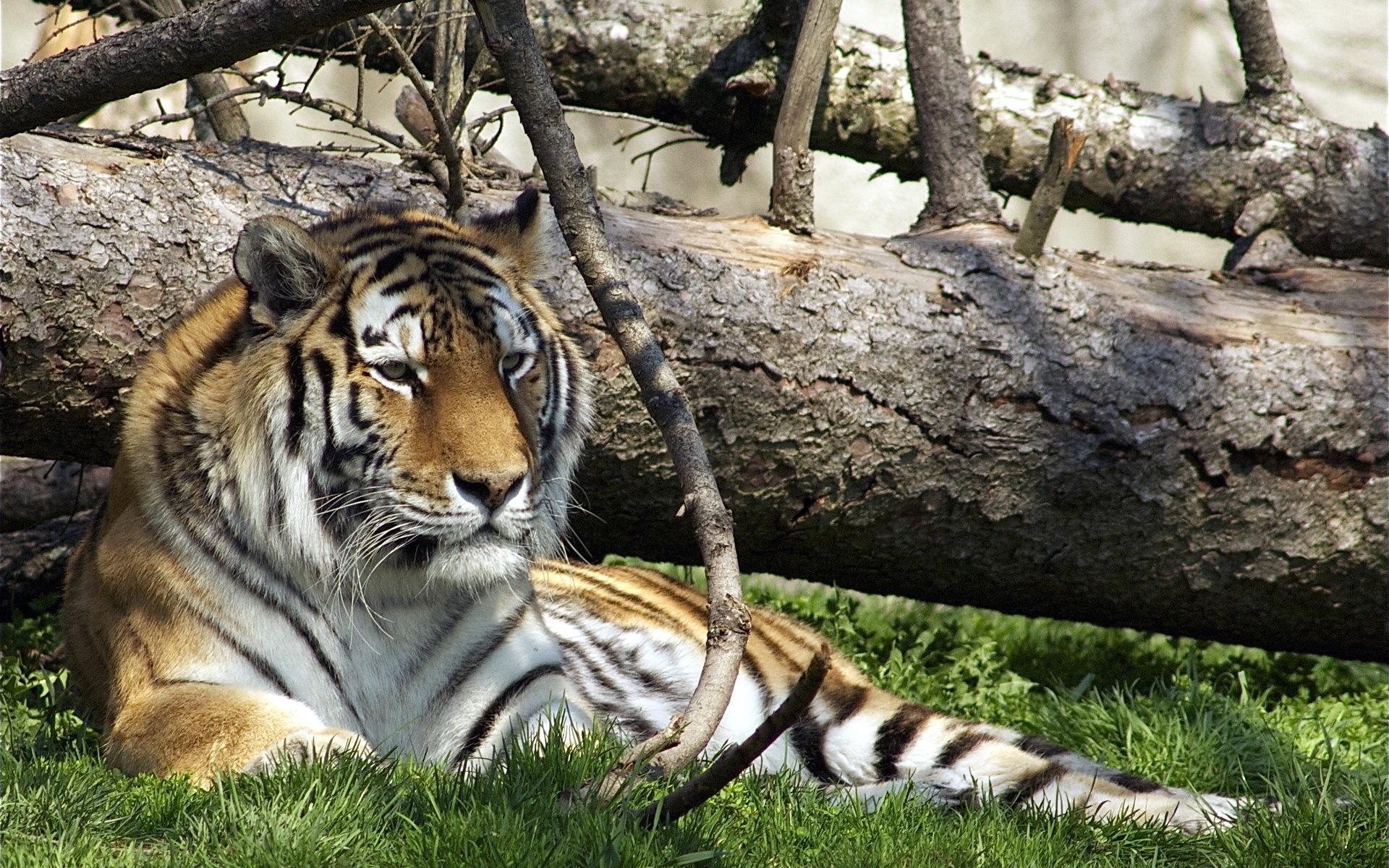 Тигр в зоопарке бесплатно