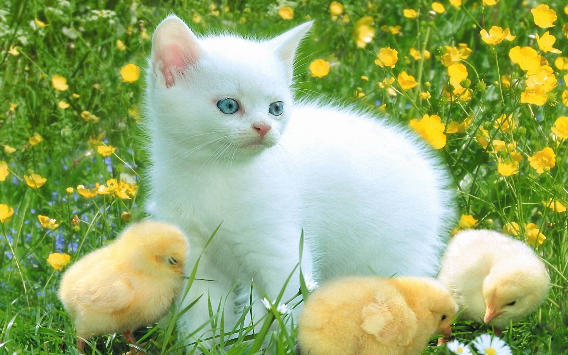 природа животные кот белый nature animals cat white  № 102744 без смс