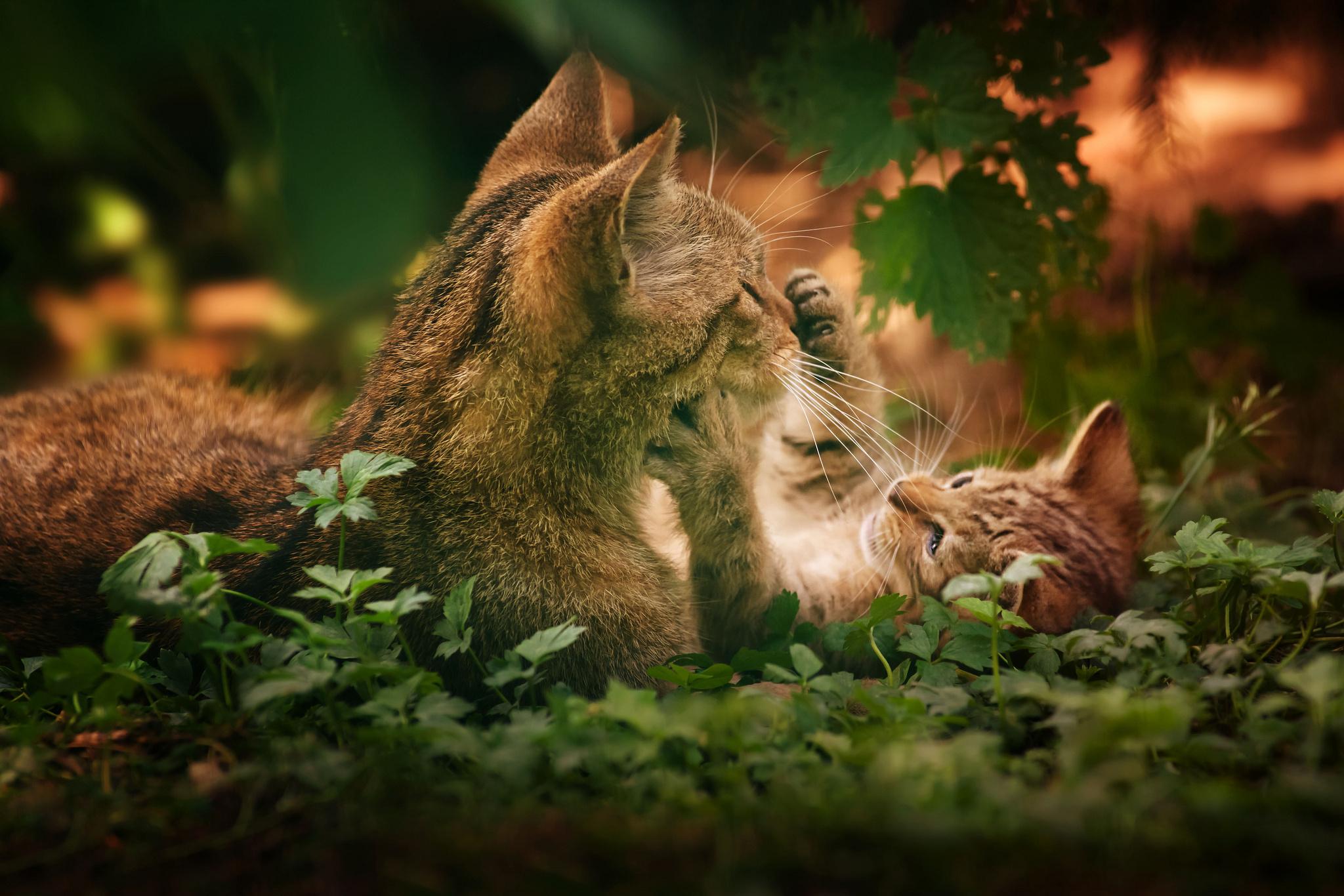 Котенок играющий с кошкой в траве  № 1994886 загрузить