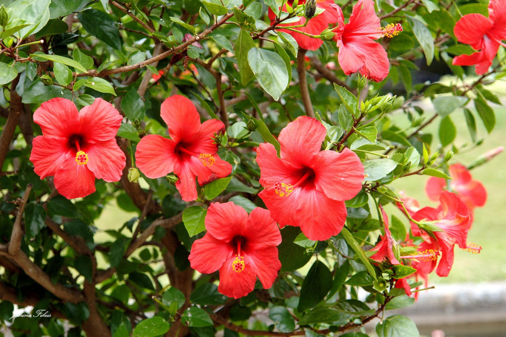 Китайские розы фото цветов