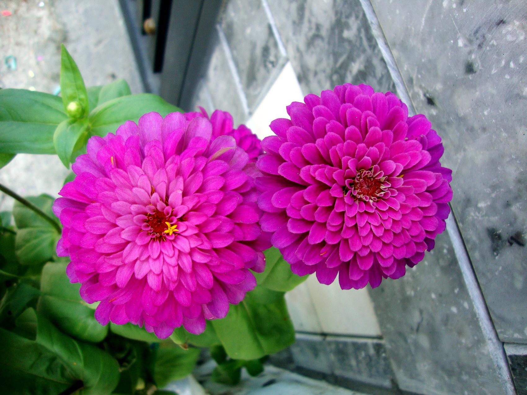 майоры фото цветов: