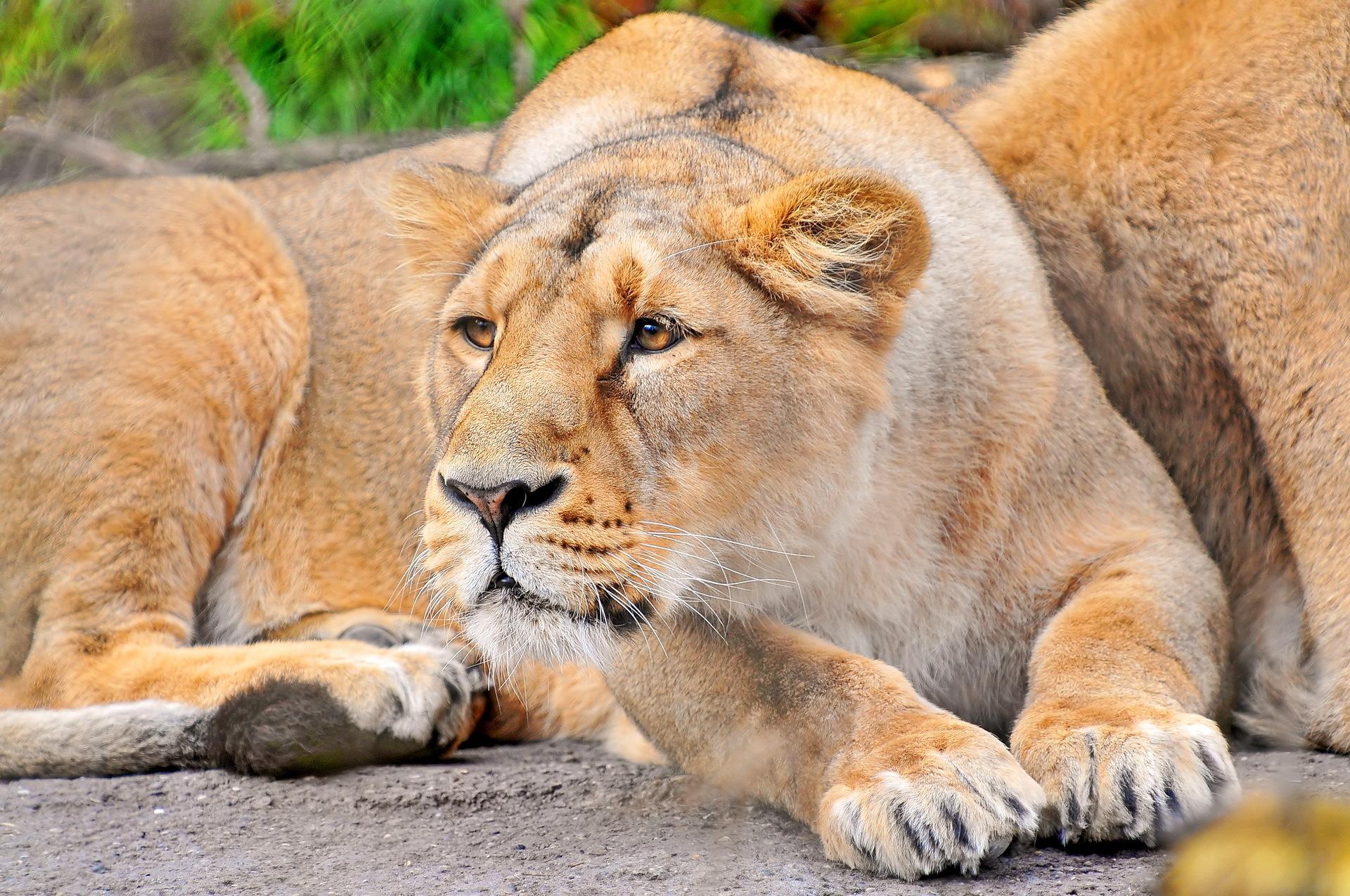 Львица с львятами без смс
