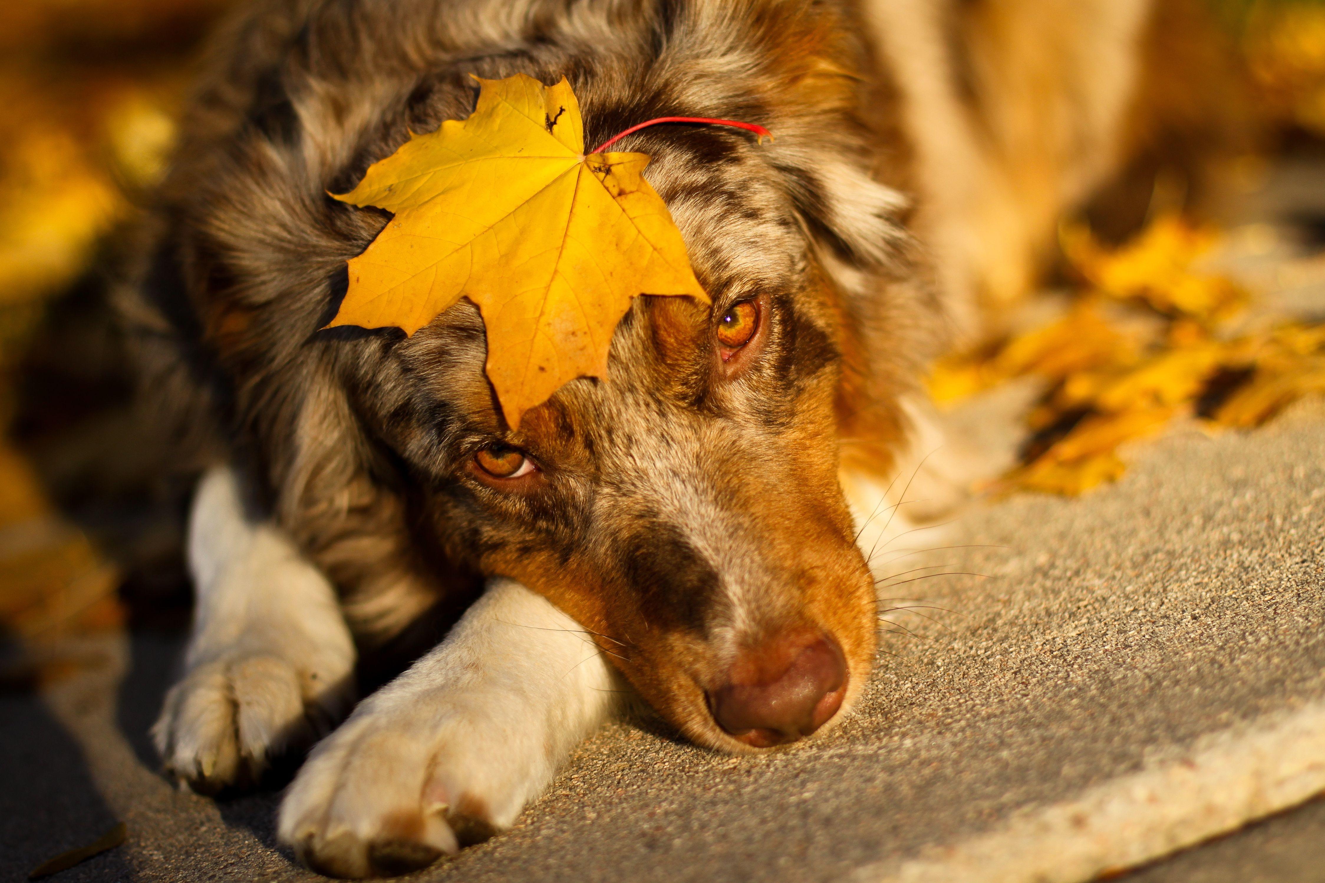 природа животные собака осень листья  № 2019395  скачать