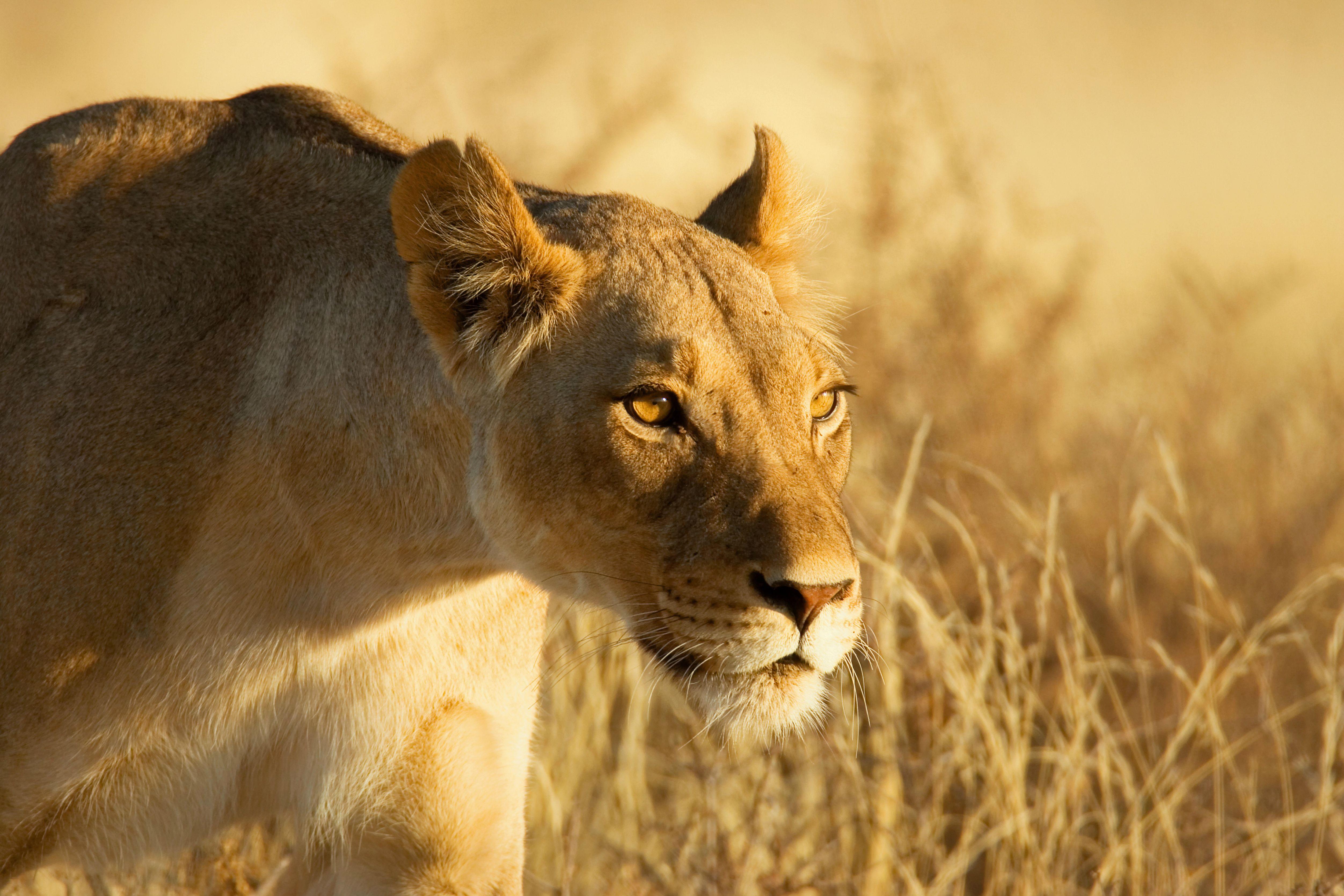 Лев на охоте загрузить