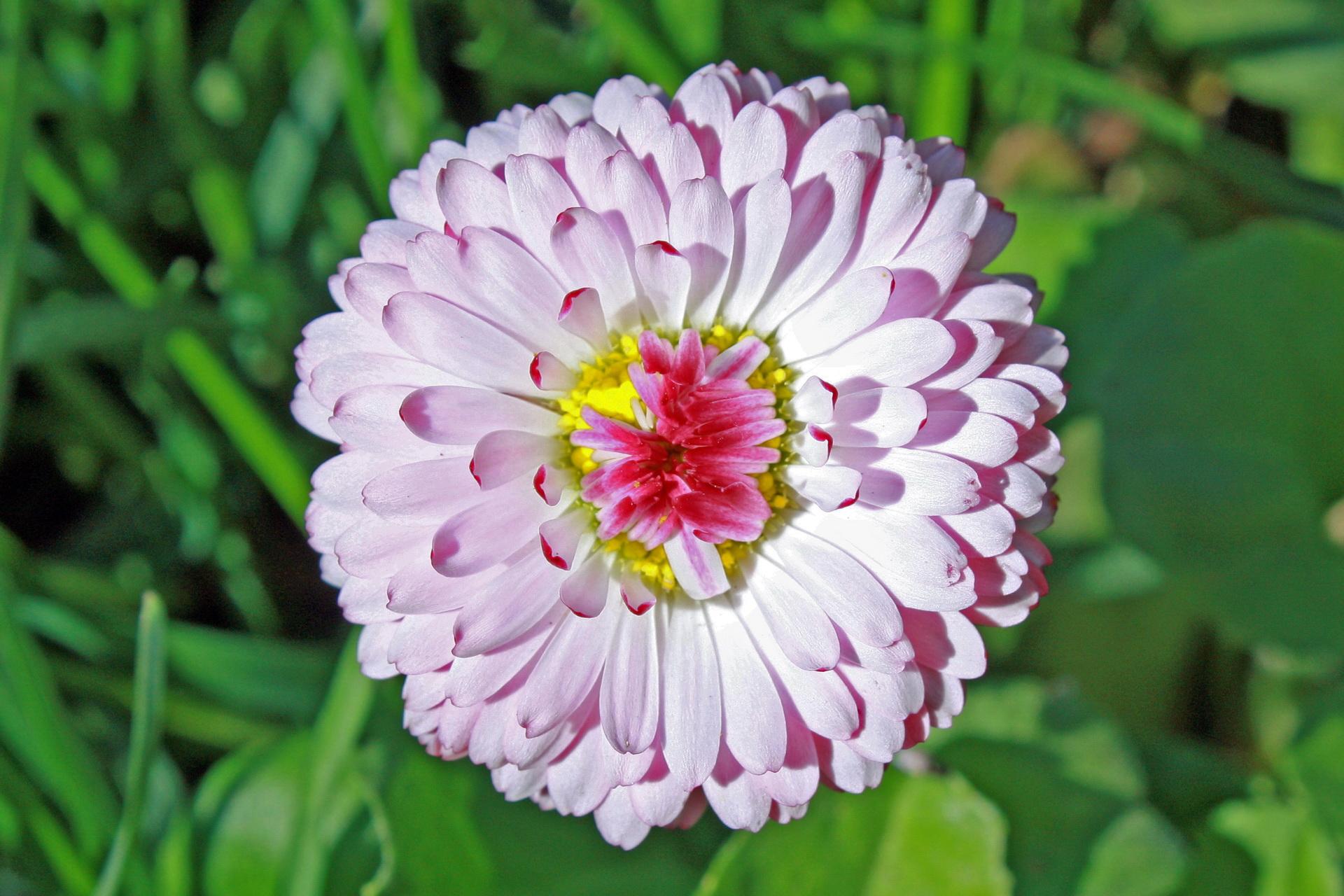 Язу цветок