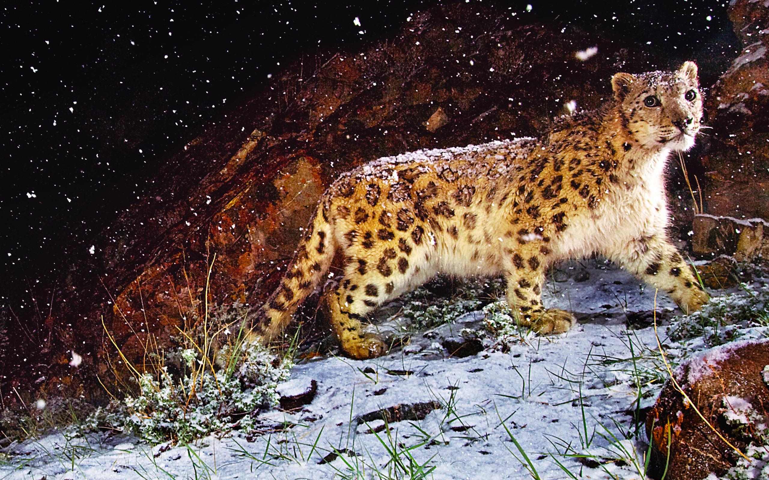 природа животные снег зима ягуар загрузить