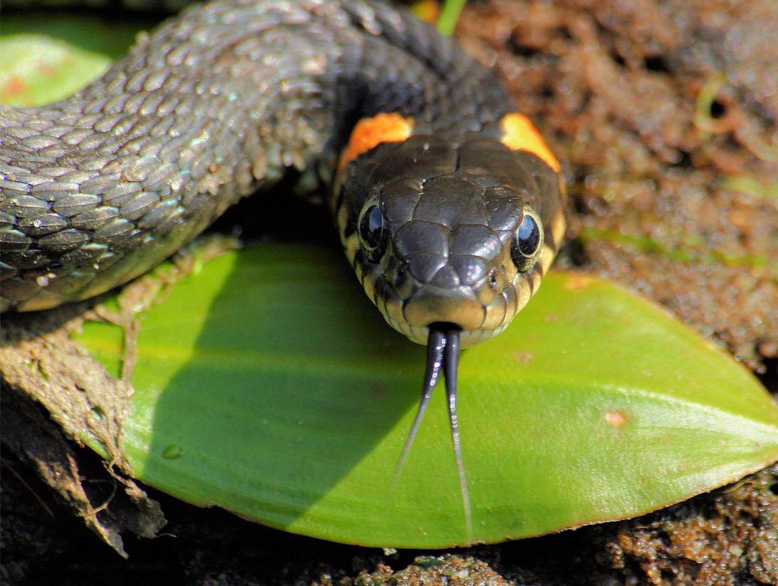 изображение змеи: