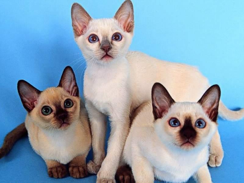 Сиамские кошки фото.