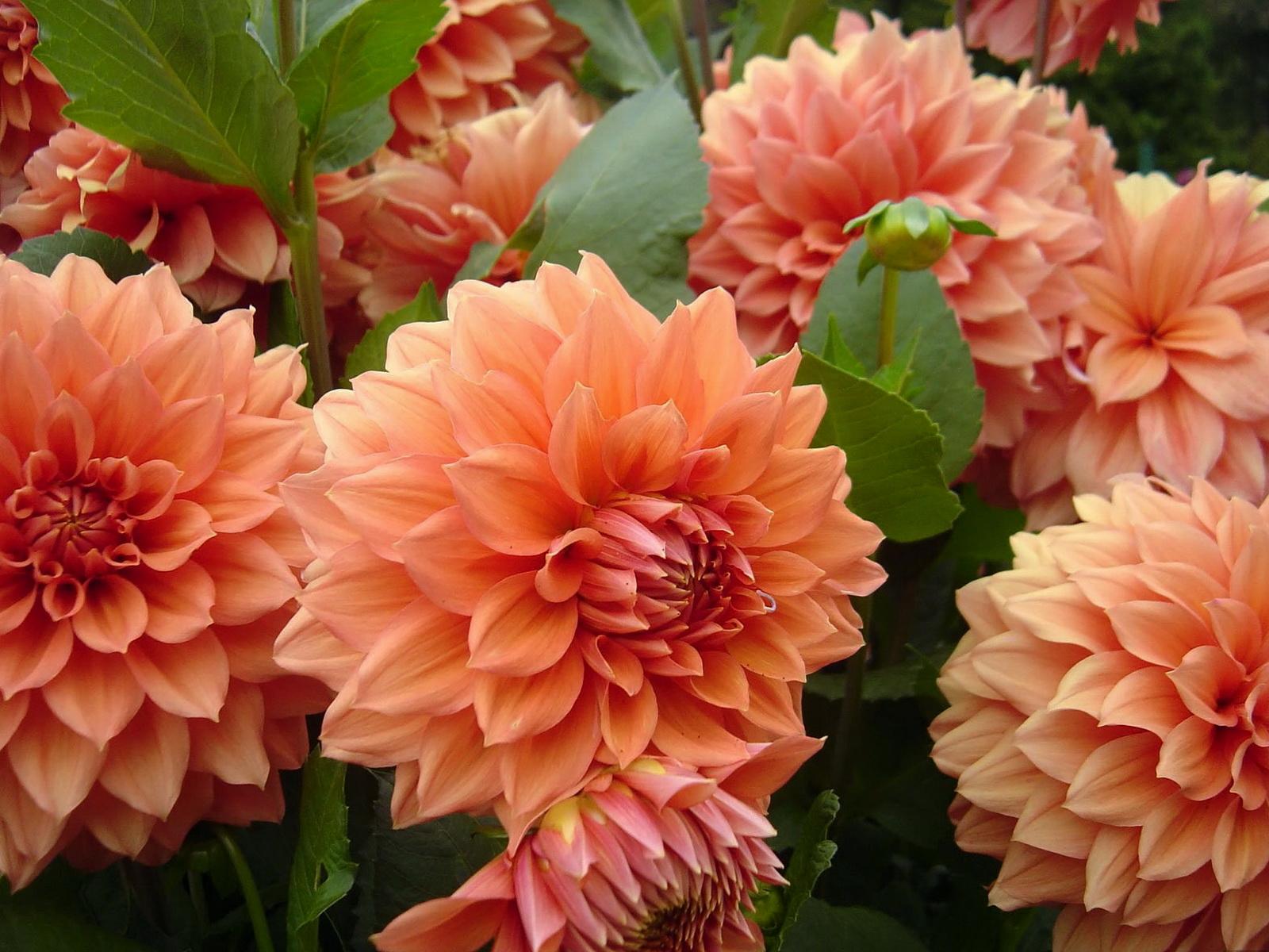 цветы георгины фото: