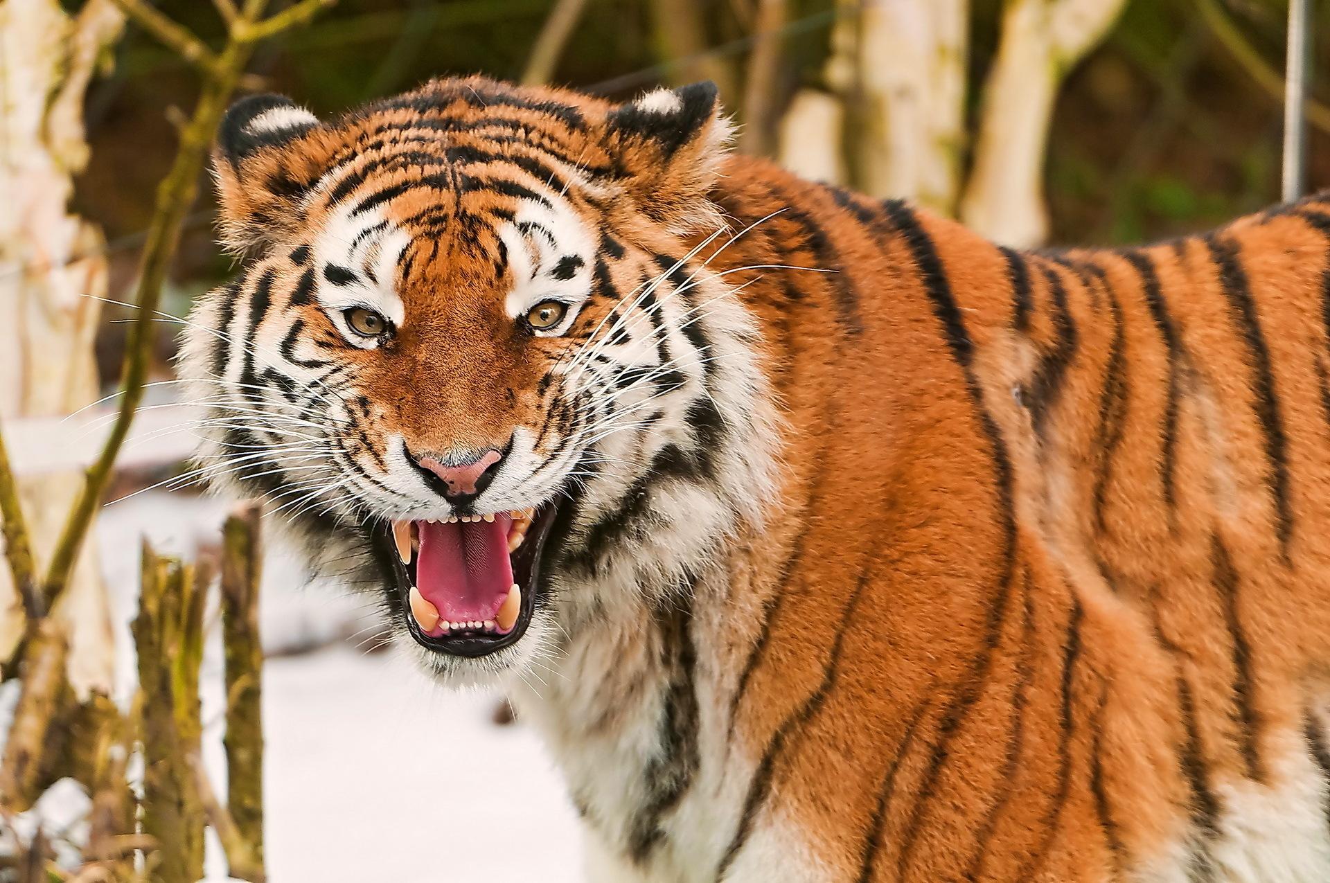 Fotos de portada tigres