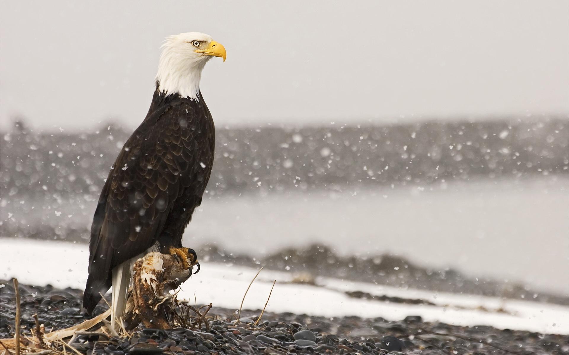 напыщенная птичка загрузить