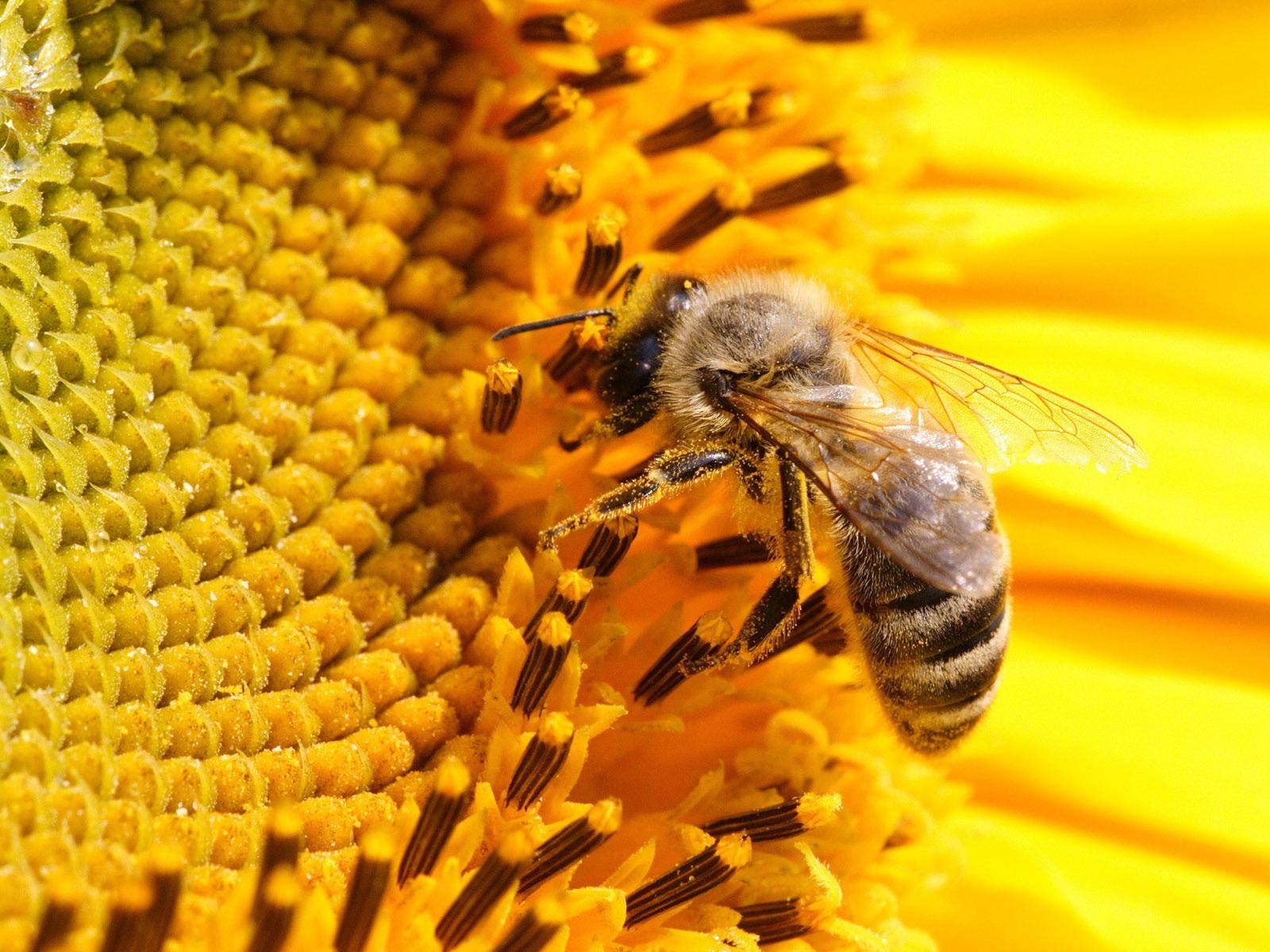 Пчела на подсолнухе бесплатно