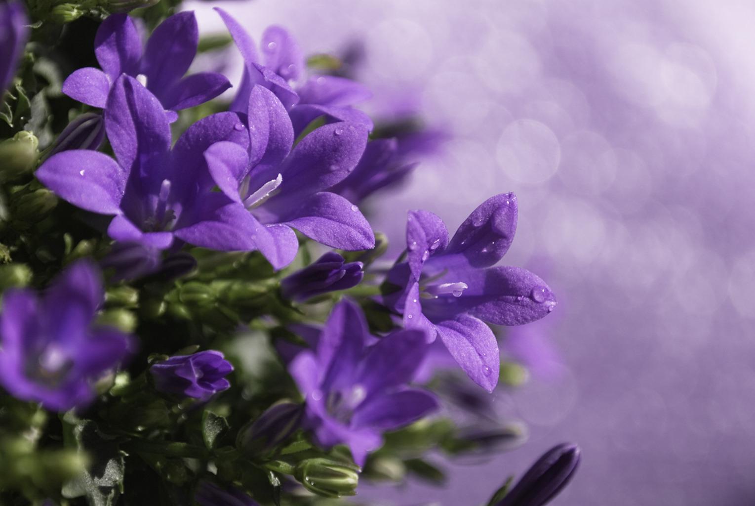 фиолетовые цветочки бесплатно