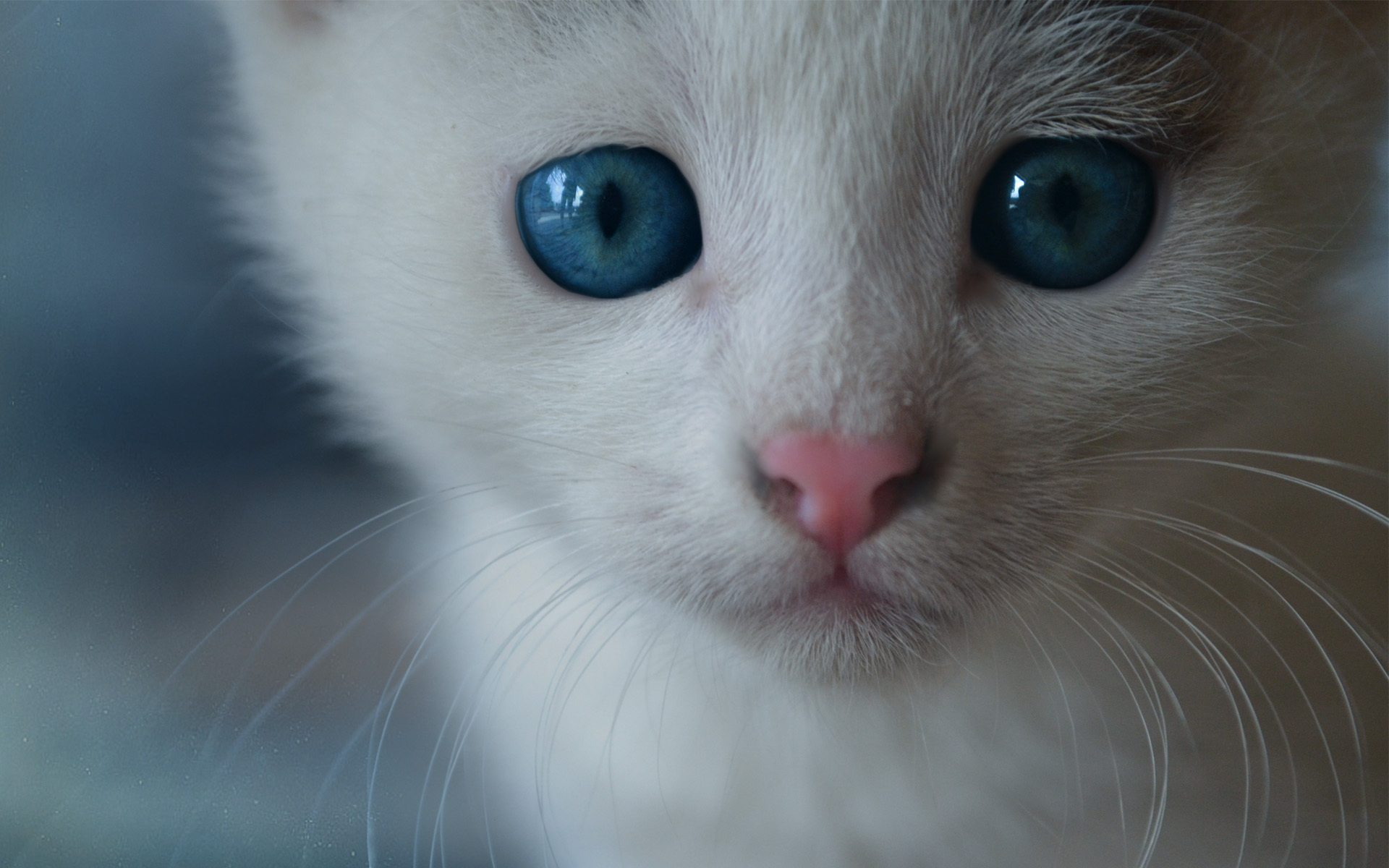 Голубоглазые кота бесплатно