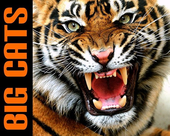 Angry bengal tiger eyes