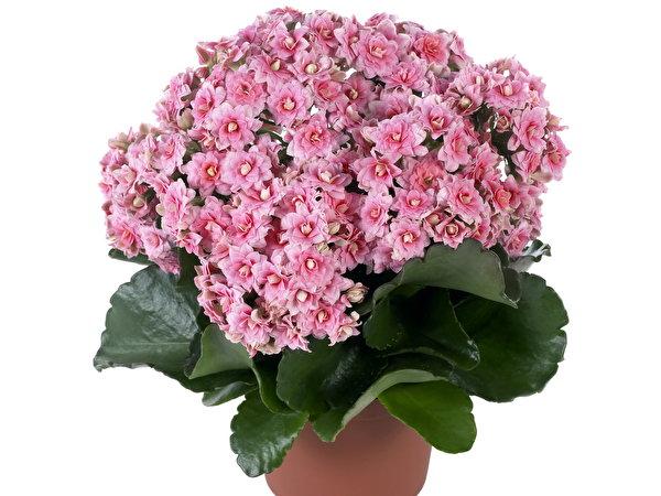 Список комнатных цветов с картинками 3