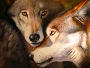 Фотографии Волки Вблизи Морда Двое животное