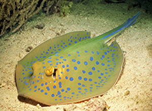 Картинки Подводный мир Скаты