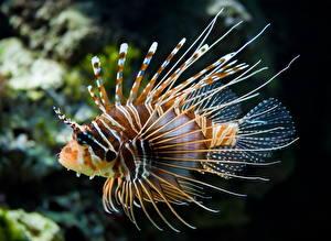 Фотографии Подводный мир Рыбы Крылатки Животные