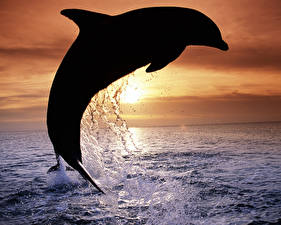 Картинки Дельфины Силуэт Животные