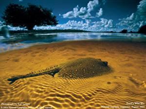 Фотографии Подводный мир Скаты