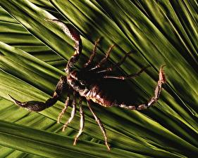 Фото Насекомое Скорпионы