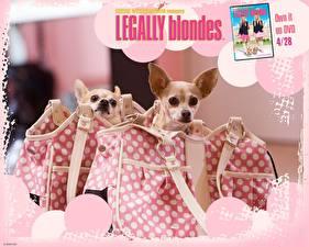 Обои Блондинки в законе Чихуахуа
