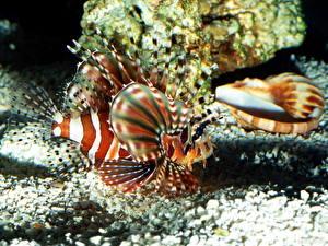 Фото Подводный мир Рыбы Крылатки животное