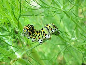 Фото Насекомое Гусеницы животное