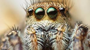 Обои Глаза Пауки Пауки-скакуны