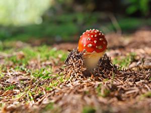 Фотография Грибы природа Мухомор Природа
