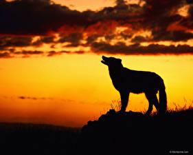 Картинки Волки Силуэт Животные