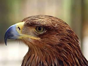 Картинка Птицы Орел Клюв Животные