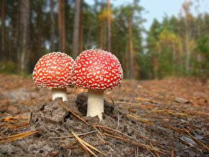 Фото Грибы природа Мухомор
