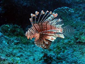 Картинки Рыбы Подводный мир Крылатки