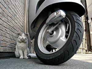 Фото Кошка Скутер Колесо Животные