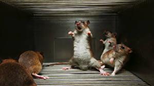 Обои Крыса Смешные