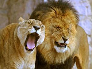 Картинки Большие кошки Львы Львица Язык (анатомия) Зевает Животные