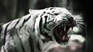 Обои Большие кошки Тигры Клыки Оскал Животные фото