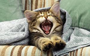 Фотографии Коты Зевает Лапы Животные