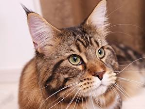 Картинки Коты Мейн-кун