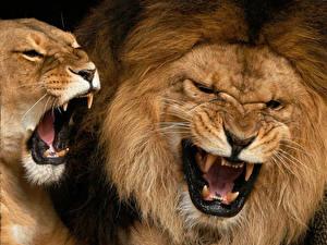 Обои Большие кошки Львы Клыки Оскал Животные фото
