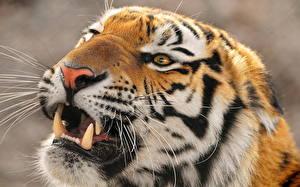 Обои Большие кошки Тигры Клыки Животные фото