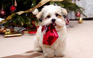 Фото Собаки Болоньез Подарки Взгляд Животные