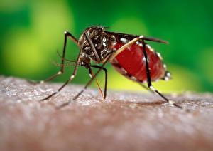 Обои для рабочего стола Насекомые Комары животное