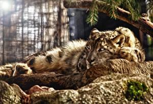 Фото Ирбис Большие кошки 3D Графика Животные