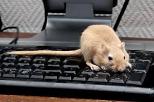Фотографии Грызуны Крысы клавиатура животное