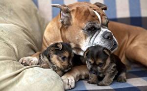 Картинки Собака Боксер Бульдог щенки на диване