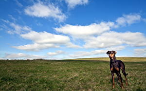 Фотографии Собака Луга Небо Пинчер Доберман Трава Животные